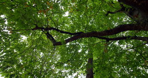Low angle view of tall green tree Royalty Free Stock Photos