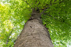 Low angle view of a tall Oriental beech Fagus orientalis tree against the sky. Royalty Free Stock Photography