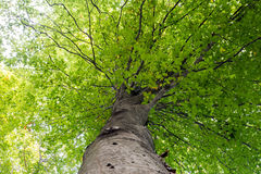 Low angle view of a tall Oriental beech Fagus orientalis tree against the sky. Stock Images