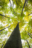 Low angle view of tall trees Royalty Free Stock Photos
