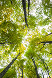 Low angle view of tall trees Royalty Free Stock Image