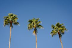 Three  palm trees against clear blue sky  noon. Low angle view of  three  palm trees against clear blue sky  noon stock photos