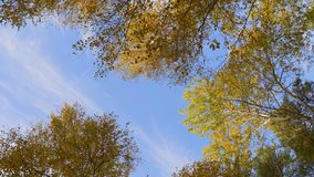 Low angle view of top of a tree on blue sky. Crowns of trees with golden foliage rotate clockwise. Low angle view of the top of a tree against a blue sky stock video footage
