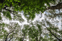 Low angle view of top of trees in forest. Low angle view of top of trees in green forest Stock Images