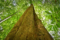 Low angle view of a tree in amazon rainforest Royalty Free Stock Photos