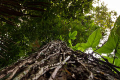 Low angle view of a tree in amazon rainforest Stock Image