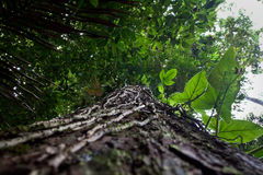 Low angle view of a tree in amazon rainforest Stock Photo