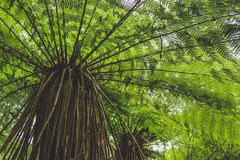 Low angle view of tree fern in rainforest in New Zealand, South Island.  stock photography