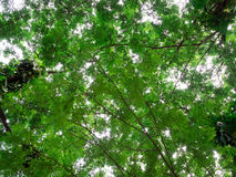 Low angle view of trees branches with lush green foliage. Branches with lush green foliage in worm eye view stock image
