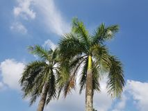 Low angle view of tropical palm trees against blue sky Royalty Free Stock Photo
