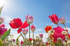 Low angle view of Tulips Royalty Free Stock Photos