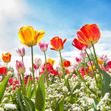 Low angle view of Tulips Stock Photos