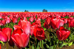 Low Angle View of Tulips Stock Image