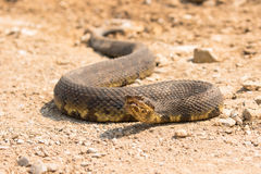 Low angle view of water moccasin Royalty Free Stock Photos