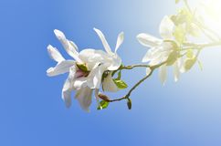 Magnolia kobus   flower plant. Low angle view of white Magnolia kobus   flower plant against clear blue sky . VIntage warm filter royalty free stock photos