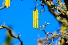 Low angle view on Yellow catkins on crooked bare branches covered with orange lichen Xanthoria parietina of old common hazel. Tree Corylus avellana announce royalty free stock image