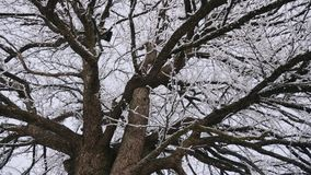 Old and big pear tree in the winter time stock video