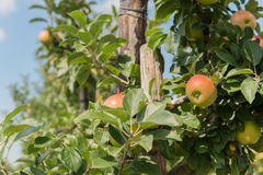 Low apple trees Stock Photo