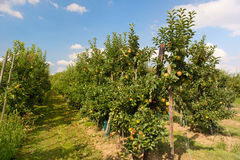Low apple trees Royalty Free Stock Photography