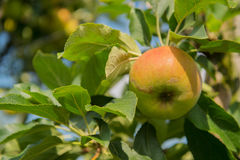Low apple trees Royalty Free Stock Images