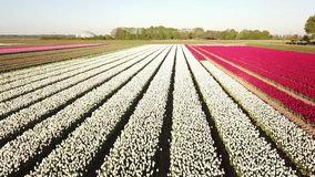 Aerial view of multi-colored tulip field. Low backwards aerial pan of a multi-colored tulip field in the Netherlands at sunrise stock video footage