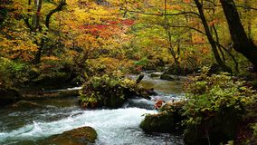 Low of beautiful Oirase mountain stream passing through the colorful foliage forest