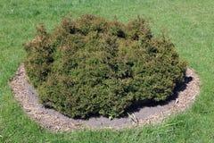 The low bush of a dwarfish coniferous plant Stock Images