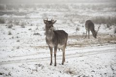Herd of fallow deer Dama dama walking around in misty winter day. This is a Low contrast horizontal low key image in white tones of a herd of fallow deer Dama stock image