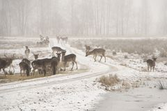 Herd of fallow deer Dama dama walking around in misty winter day. This is a Low contrast horizontal low key image in white tones of a herd of fallow deer Dama royalty free stock photography