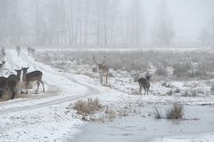 Herd of fallow deer Dama dama walking around in misty winter day. This is a Low contrast horizontal low key image in white tones of a herd of fallow deer Dama stock photography