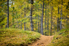 Low depth of field view of a footpath with colored larch forrest in the background Stock Image