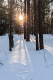 The low evening sun shines through the trees in the winter fores Royalty Free Stock Photography