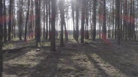 Low flight on the Copter through tree trunks in a pine forest. Low flight on the Copter through tree trunks in a pine forest on a beautiful sunny day. Aerial stock video footage