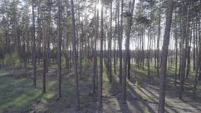Low flight on the Copter through tree trunks in a pine forest. Low flight on the Copter through tree trunks in a pine forest on a beautiful sunny day. Aerial stock video