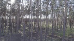 Low flight on the Copter through tree trunks in a pine forest with a smooth rise of the camera up. Low flight on the Copter through tree trunks in a pine forest stock footage