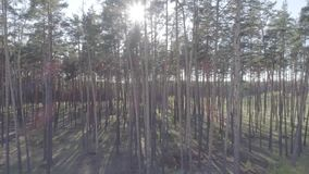 Low flight on the Copter through tree trunks in a pine forest with a smooth rise of the camera up. Low flight on the Copter through tree trunks in a pine forest stock video footage