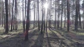 Low flight on the copter through tree trunks in a pine forest. Low flight on the copter through tree trunks in a pine forest on a beautiful sunny day. Aerial stock footage