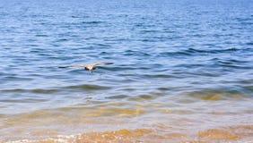 Low flight of a petrel. 2017 Stock Photos