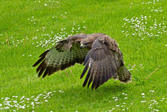 Low Flying Buzzard Stock Photography