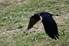 Low flying crow in search of food. Low flying black crow with wings extended Stock Photo
