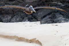Low-Flying Pelican. Pelican flying low over a beach in the Galapagos Islands stock photography