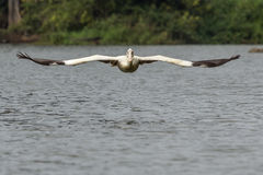 Low Flying Pelican (Incoming) Stock Photo