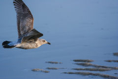Low Flying Seagull Royalty Free Stock Image