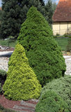 Low growing ornamental conifers Royalty Free Stock Photography