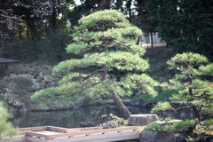 Low-grown pine. Undersized branching pines on the shore of a small pond with wooden walkways in the park stock images