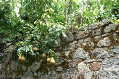Low hanging fruit trespass over medieval wall. In life as in business, we have to overcome old ways of thinking and dated methods. These encroaching pears remind royalty free stock photo