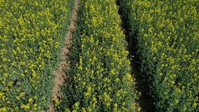 Low height drone flight above Rapeseed field above tractor tracks. Low height drone flight above Rapeseed field above tractor or some kind of agricultural stock video