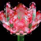 Low hexagonal tulip flower closeup on black background. Low hexagonal tulip flower closeup Royalty Free Stock Photo