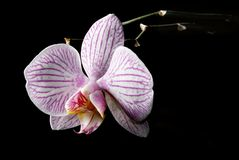 Low key blooming orchid Royalty Free Stock Photo
