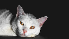 Low key cat - With big yellow demon eyes - black background Royalty Free Stock Photography